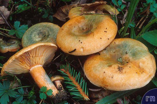 Russulales News / Lactarius deterrimus