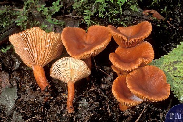 Russulales News / Lactarius lacunarum